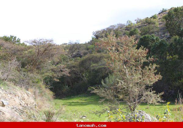 ازدحام الأودية بالأشجار الخضراء في تنومة