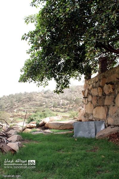شجرة الرقاع - تنومة