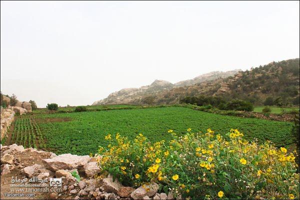 مزارع الفاصوليا في الاربوعة - تنومة