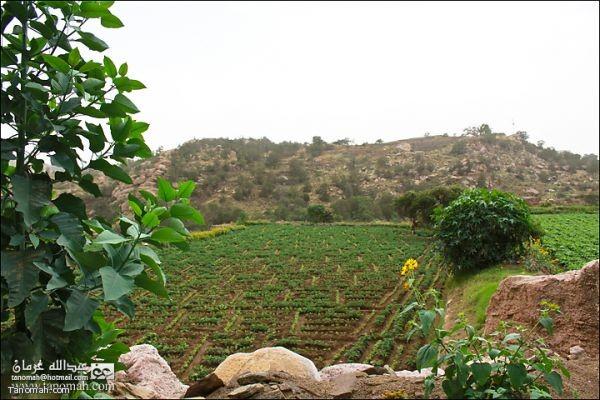 مزارع الفاصوليا في الاربوعة- تنومة