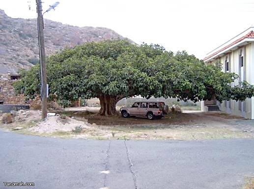 أكبر شجرة - شجرة الرقاع في شعف آل سودة والتي يقدر عمرها بأكثر من 400 عام (تصوير العمدة)