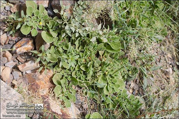 انواع اخرى من النباتات  في وادي عيا