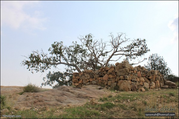 """شجرة """"الرقاع"""" أمام بيت اثري متهدم   (عدسة عبدالله غرمان)"""