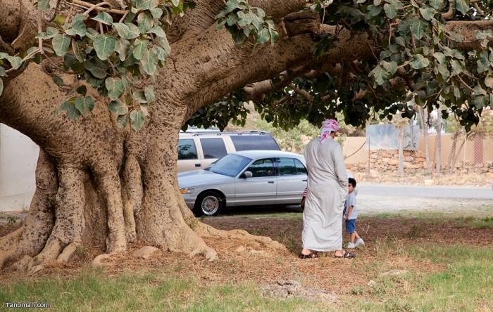 شجرة الرقاع في شعب آل سودة   (عدسة : رائد عثمان )