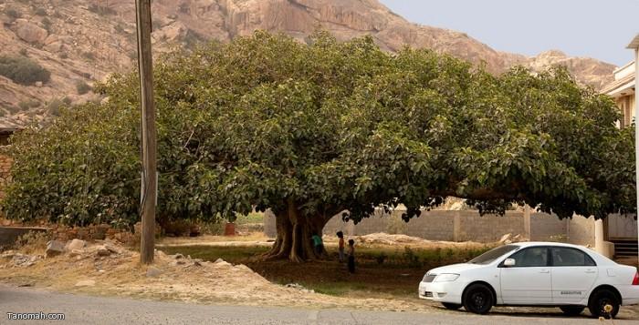 شجرة الرقاع في شعف آل سودة   (عدسة : رائد عثمان )