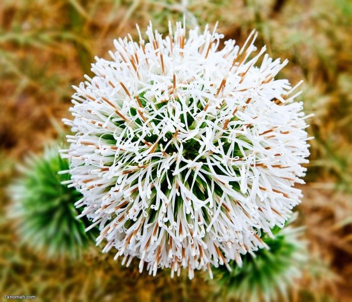 الشبرم من النباتات البرية  التي تنبت بكثرة في تنومة (عدسة : رائد عثمان )
