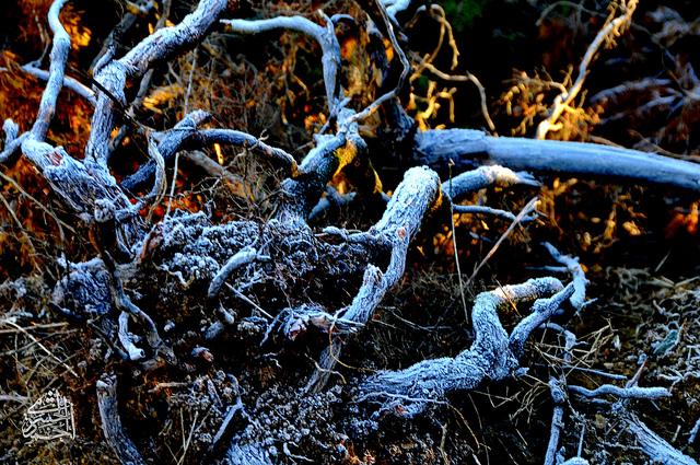 الثلج يغطي الاشجار في النماص