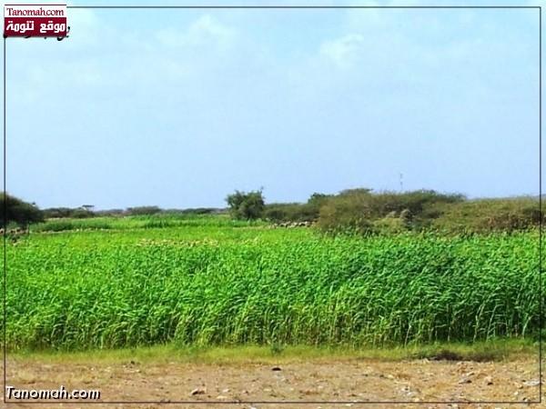زراعة الذرة في البرك  - عدسة بن جار الله