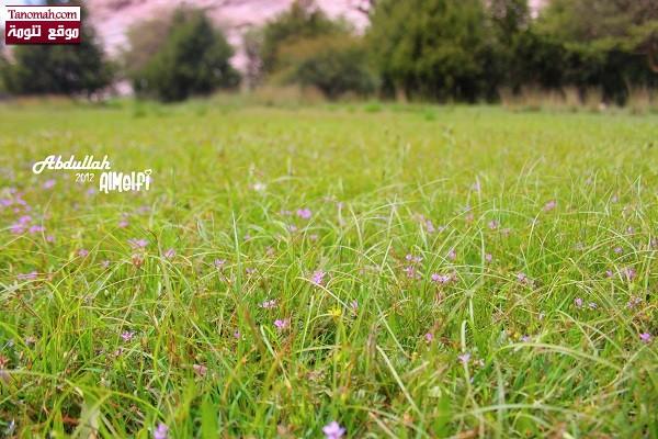 تنومة ما بعد الأمطار - عدسة عبدالله الملفي