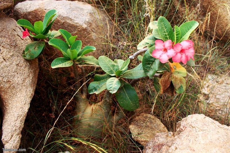 شجرة العدنة من النباتات التي تعيش في غرب تنومة. .. عدسة عبدالله بن غرمان