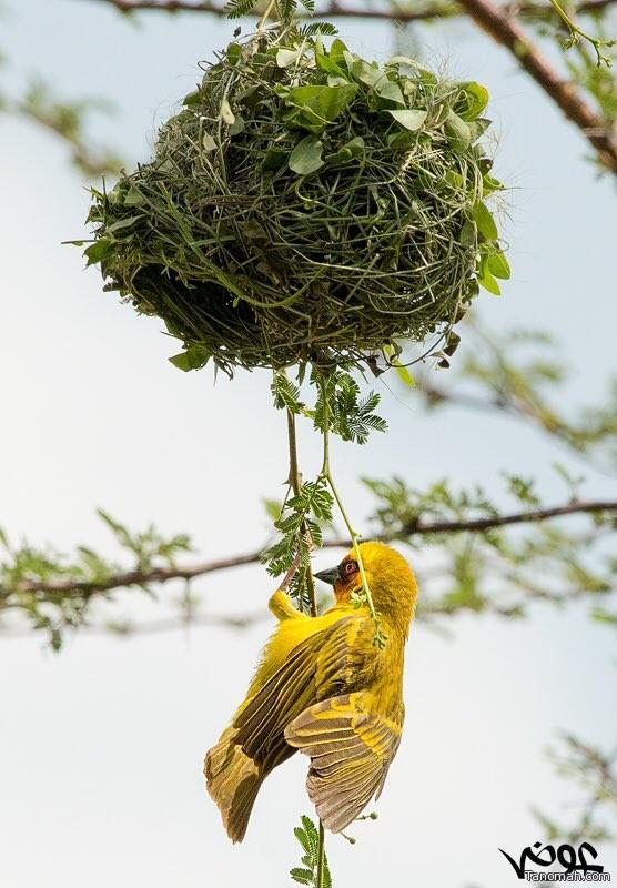 #صورة لطائر النساج أو (الحباك)