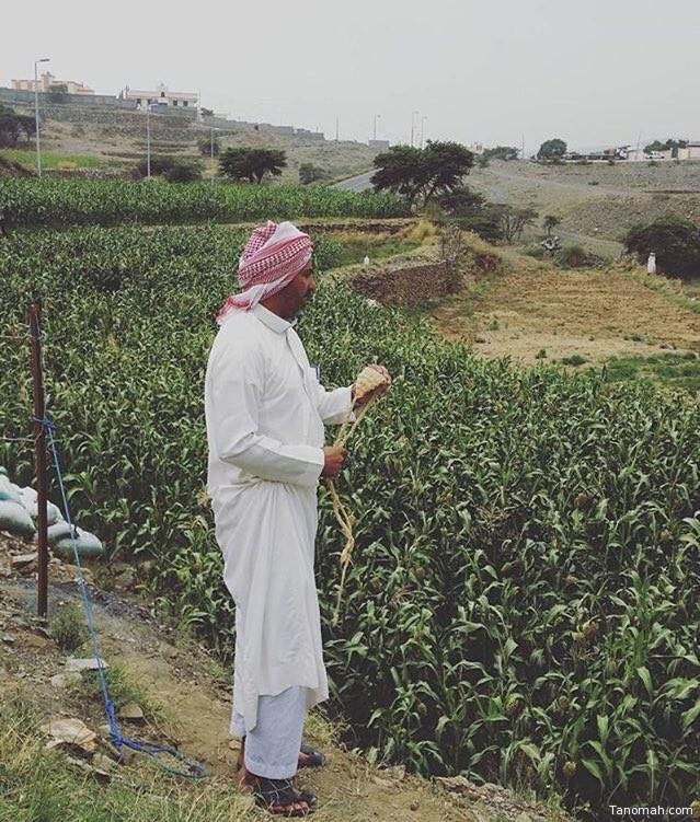 """حماية محصول الذرة بـ """"المريمه"""" الصورة من بللحمر"""