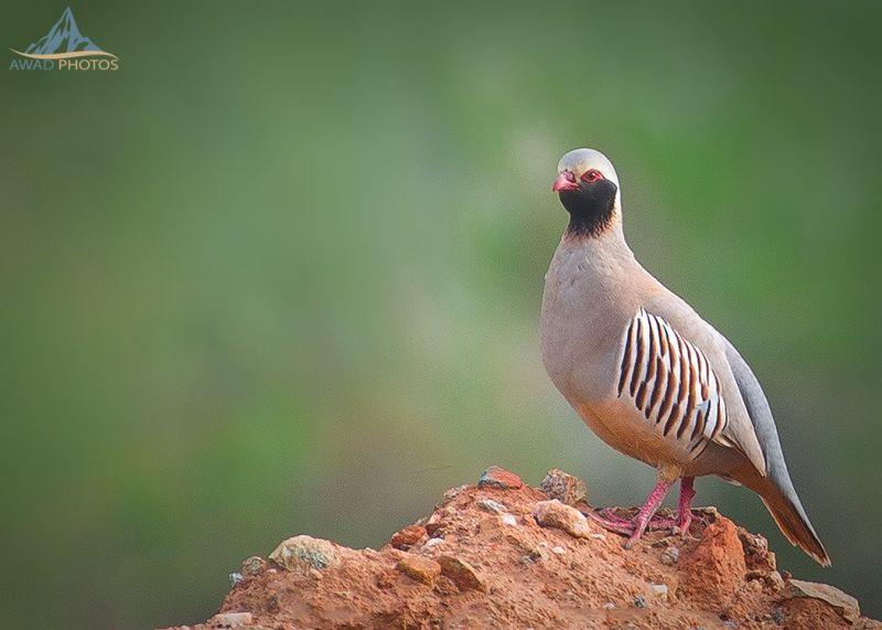 طائر القٌهبي من الطيور المقيمة في منطقة سراة #عسير ...عدسة عوض الشهري