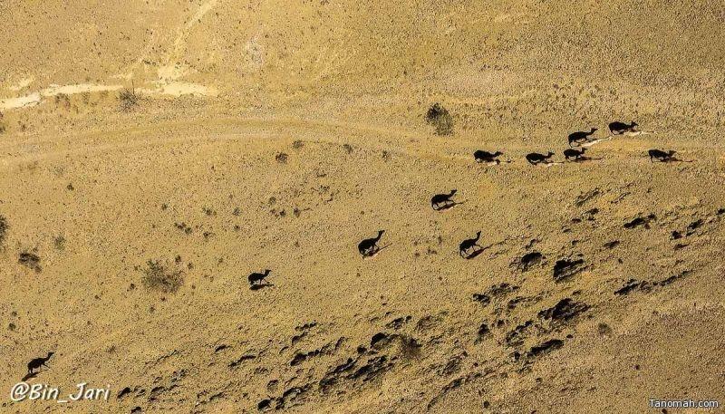 صورة لعدد من الجمال شرق #النماص والتي يظهر ظلها في الأرض