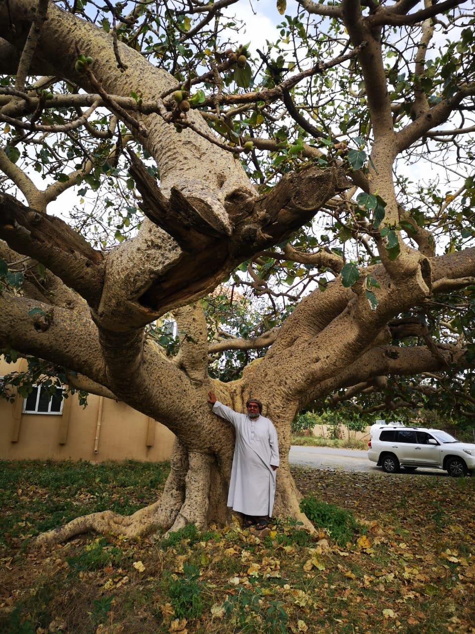 صورة لـ شجرة الرقاع المعمرة في محافظة تنومة