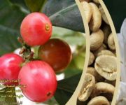 الدليل الحقلي لزراعة  البن