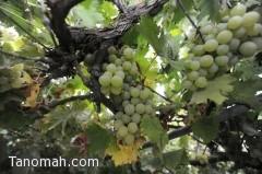 """مزارع """"بلقرن"""" تدعم السوق المحلي بـ 20 ألف طن من الخضروات والفواكه"""