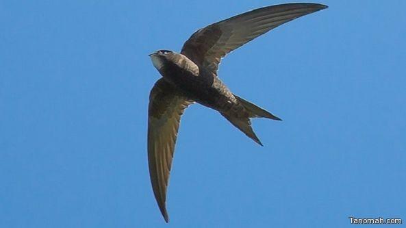 طائر قادر على التحليق في الجو 10 أشهر دون توقف!
