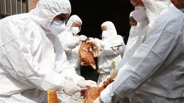 إنفلونزا الطيور تعود للظهور.. كرواتيا تعدم دواجن