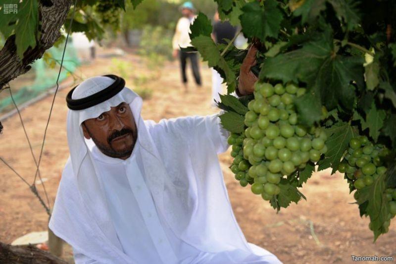موسم الفاكهة الصيفية ينعش الإنتاج الزراعي في منطقة عسير