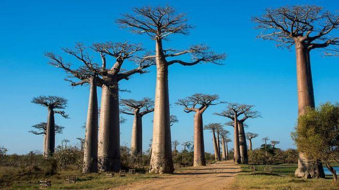 الشجرة التي تعيش لأكثر من 2000 عام