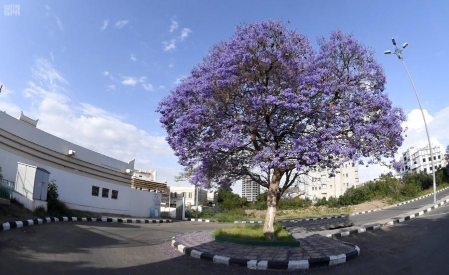 أشجار الجاكرندا تزين طرقات وميادين أبها
