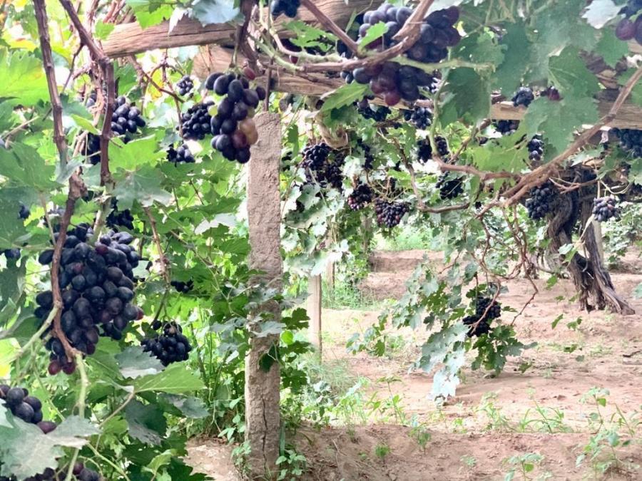 شاهد صور مزارع العنب في نجران