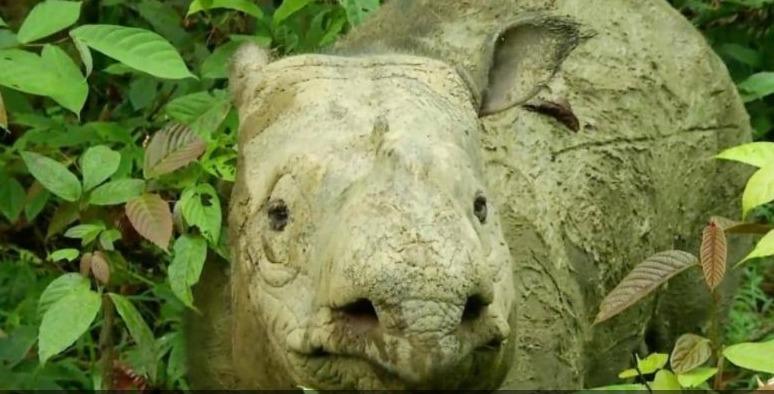 هل تساعد #الخلايا_الجذعية في استعادة سلالة وحيد القرن #الماليزي بعد انقراضه؟