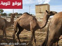 ناشط سعودي يقوم بحملة لإنقاذ الجمال الاسترالية