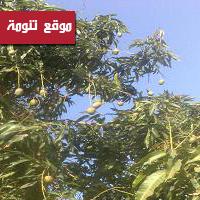 مزارع خاط : شجرة المانجو تؤتي أُكلها الموسمي والمزارعين يعدّونها تجربة زراعية ناجحة