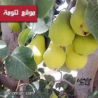الأجاص (الكمثرى) فاكهة صيفية اشتهرت بها تنومة