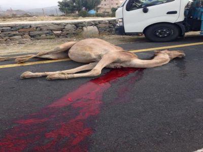 """نجاة مواطن من الموت بعد أن اصطدمت سيارته بجمل """"سائب"""" في تنومة"""