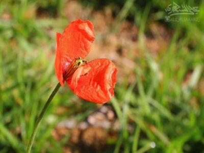 """توثيق لأزهار """"#شقائق_النعمان"""" في إحدى قرى #النماص"""