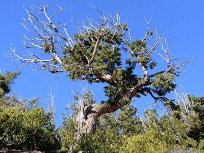 شجرة #العرعر .. أيقونة السياحة في #عسير