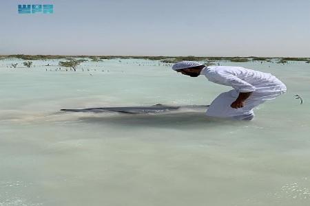 #شاهد عملية إنقاذ لعشرات الدلافين في شاطئ أملج